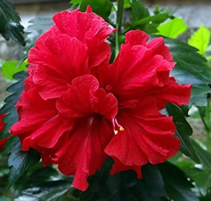 Ojorey Hibiscus Live Healthy Beautiful Hibiscusgudhal Red Double