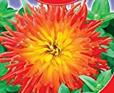 "Zinnia elegans ""God of fire"" Flower Seeds from Ukraine. 45 SEEDS"