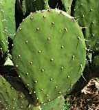 Blind Prickly Pear Cactus Starter Pad. Opuntia rufida. Easy Rooting.