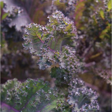 David's Garden Seeds Kale Scarlet D3172 (Purple) 200 Open Pollinated Seeds