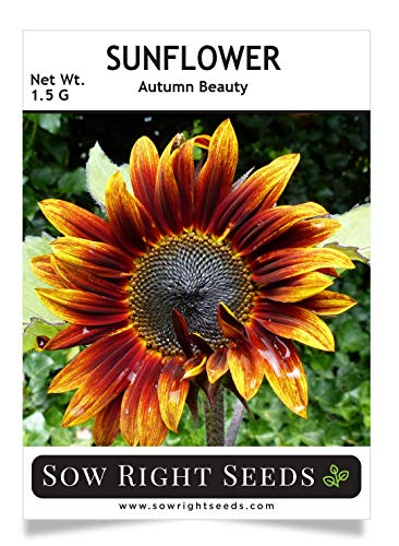 Sow Right Seeds - Autumn Beauty Sunflower Seeds for Planting, Beautiful Giant Flower to Plant, Non-GMO Heirloom Seed, Wonderful Gardening Gift (1)