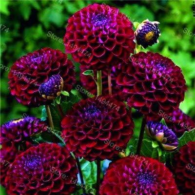 Dahlia Belle Fleurs vivaces pinnata flores pour le plan de jardin Maison 100 AGROBITS bonsa/Ã/¯s rare Dahlia patates douces Dahlia plantes de fleurs vert