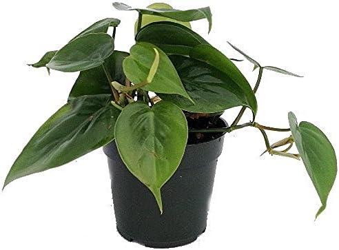 Filodendro De Hoja De Corazón Planta De Casa Más Fácil De Cultivar Maceta De 4 Pulgadas Planta Viva Hgs0865 Jardín Y Exteriores