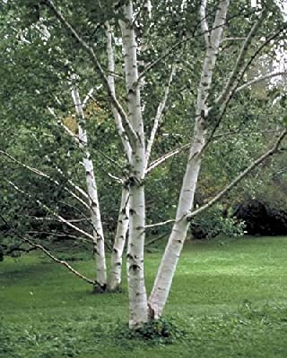 The Dirty Gardener Betula Papyrifera Paper Birch Trees - 500 Seeds