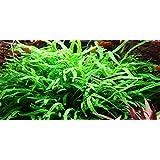 Java Trident de helecho - Microsorum Pteropus Trident - planta para Acuario