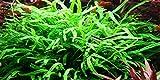 Java Fern Trident - Microsorum pteropus 'Trident' - Live aquarium plant