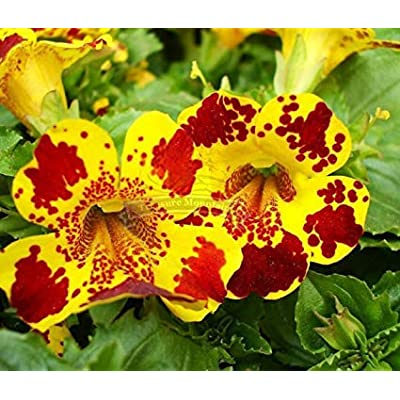 Bio Garden - Rare 60pcs Yellow Monkey Flower – Mimulus luteus Seeds Easy to Grow, Exotic Flower Seeds Hardy Perennial Garden : Garden & Outdoor