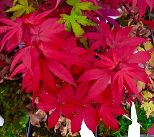 (Little Red Dwarf Japanese Maple- Brick Red Leaves on a Tight Compact Maple - 2 - Year Live Plant)