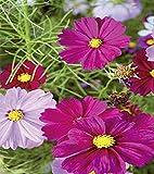 Schmuckkörbchen Cosmea farbenfrohe Mischung 120 cm Samen