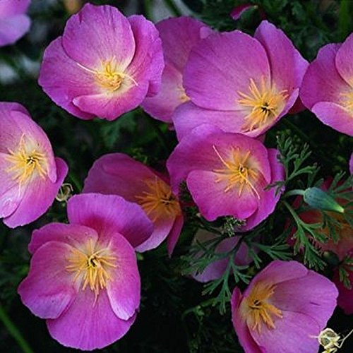 Purple Gleam California Poppy Seeds - extremely adaptable to just about any soil(25 - Seeds)