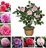 50 pcs / bag, Camellia seeds,Camellia japonica,potted plants, planting seasons, flowering plants