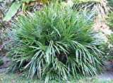 Needle Palm Tree - 3 Gallon