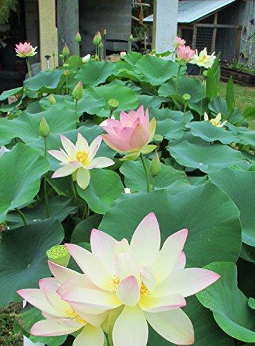 ''Beautiful Dancer'' (Pink) Oriental Lotus Live Aquatic Plant Grown in Licensed Florida Aquatics Plants Nursery by Unknown (Image #2)