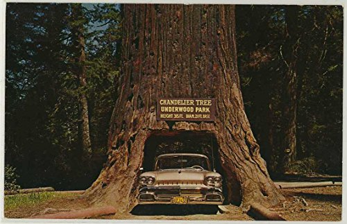 Chandelier Tree of the Redwood Highway of California (1950's Roadside Map Chrome Postcard) (Chrome Map)