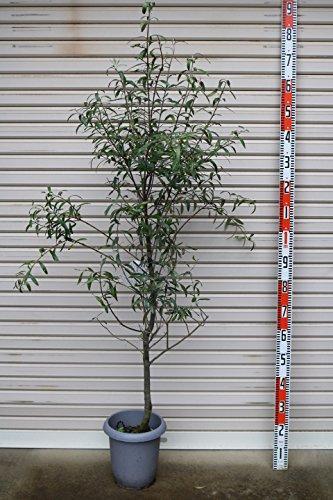 【オリーブ苗木[T]】 シプレシーノ 4年生苗 8号鉢 【ガーデンストーリーの苗木】 B01HSUN290   8号鉢サイズ(2)