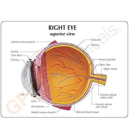 Eye Normal Anatomical Model by GPI Anatomicals (Image #1)