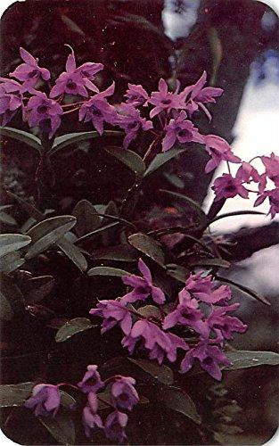 Panama Orchids - Orchids Cattleya Skinneri Panama Postcard