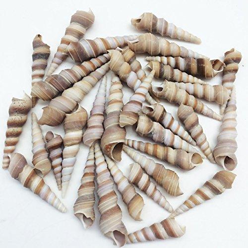 PEPPERLONELY Medium Purple Turitella Sea Shells, 8 OZ Approx. 36+PC Shells, 2 Inch ~ 3 Inch -
