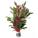 Alternanthera Bettzickian Red Ficoidea Live Aquarium Plants Bunch