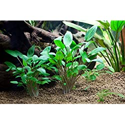 AquariumPlantsFactory - Cryptocoryne Wendtii Green Potted Freshwater Live Aquarium Plants BUY2GET1FREE