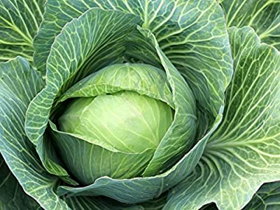 Cabbage Seeds - Late Flat Dutch - Heirloom - Best for Storage - Liliana's Garden