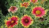 Gaillardia Aristata (Common Blanketflower) Perennial Wildflower 200 Seeds