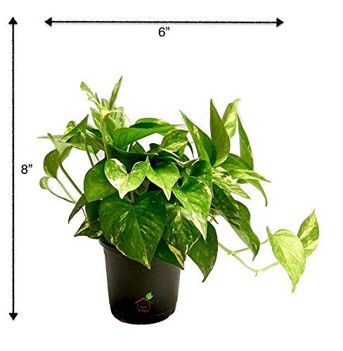 Root Bridges Indoor Green Money Plant (Pot included)