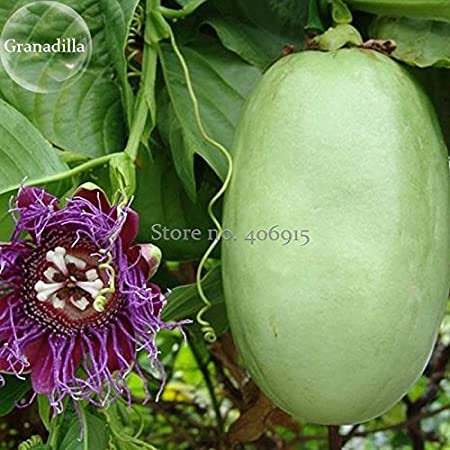 Giant  Yellow Passion Fruit //Passiflora// granadilla// Climbing 10 Seeds
