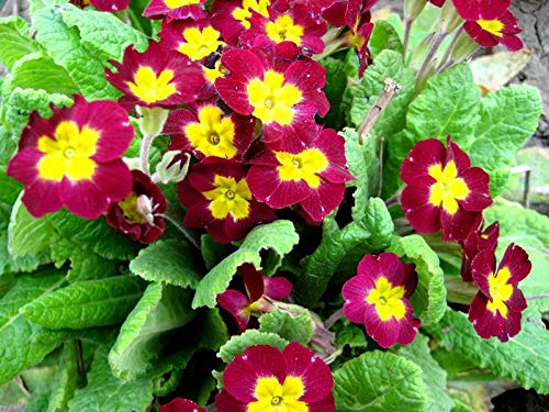 Primrose Flowers Bright Green Flowerbed