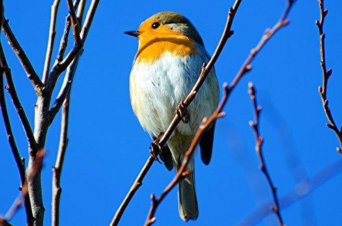 Home Comforts LAMINATED POSTER Erithacus Bird Branch Card Breast Bavaria Poster 24x16 Adhesive (Bavaria Bird)