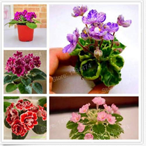 Portal Cool 200Pcs Mixed Color Mini Violet Seeds, African Violet Seeds, Mini Garden Plant