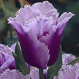 Van Zyverden Tulips Blue Heron Set of 12 Bulbs