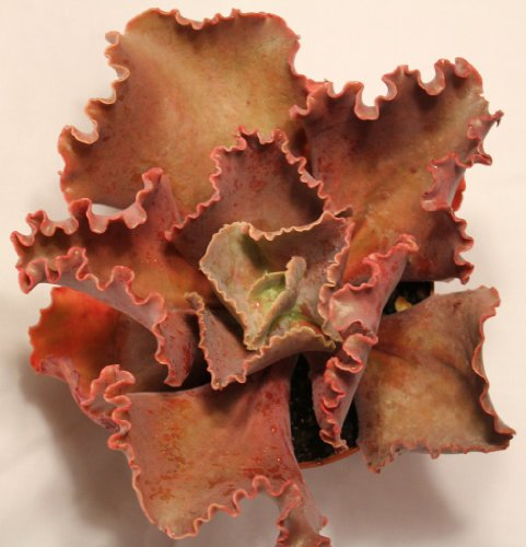 Large Echeveria Hybrid Succulent plant