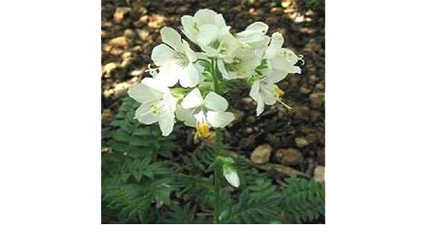 Portal Cool Escalera de las semillas de flor blanca de la perla de ...