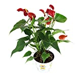 Burpee 'Fire Glow' Anthurium   Indirect High Light, Easy Care House Plant   6'' Pot Red