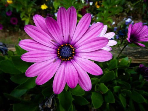 25 PURPLE AFRICAN CAPE DAISY Dimorphotheca Flower Seeds *Comb S/H (Purple Flower Daisy)
