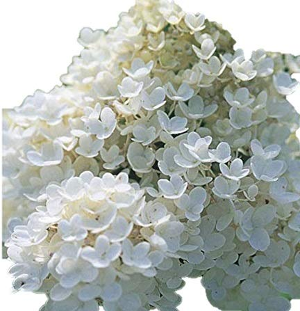 Pee Gee Snowball Hydrangea Healthy Established Roots - 1 Gallon Potted -1 Plant by Growers Solution