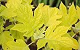 "little honey hydrangea Little Honey Oakleaf Hydrangea Bush - Bright Gold Foliage - 4"" Pot"