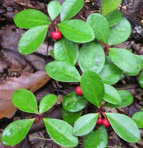 Amazon.com : Live Wintergreen Teaberry Plants For Fairy Garden, Terrarium,  Garden : Herb Plants : Grocery U0026 Gourmet Food