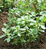 David's Garden Seeds Leafy Greens Purslane Red Gruner D2257A (Green) 500 Open Pollinated Seeds