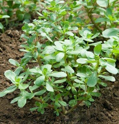 David's Garden Seeds Leafy Greens Purslane Red Gruner D2257A (Green) 500 Open Pollinated - Organic Seeds Sow