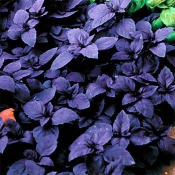 outsidepride-sweet-basil-dark-opal-1000-seeds