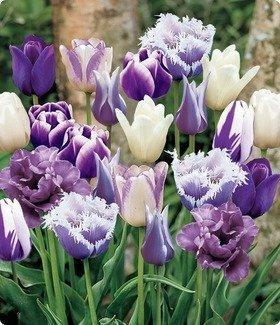 Bulbs 55k - Saavyseeds Purple Passion Tulip Seeds - 55 Count