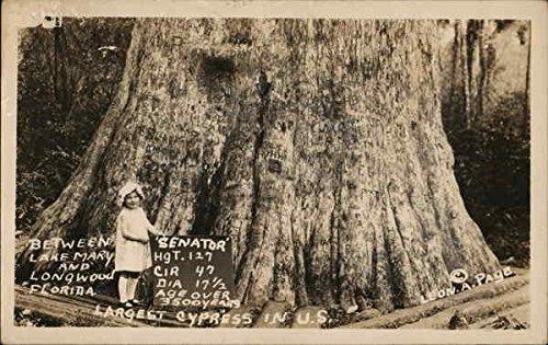 Senator, Largest Cypress Tree in US, Between Lake Mary and Longwood, Florida Original Vintage Postcard