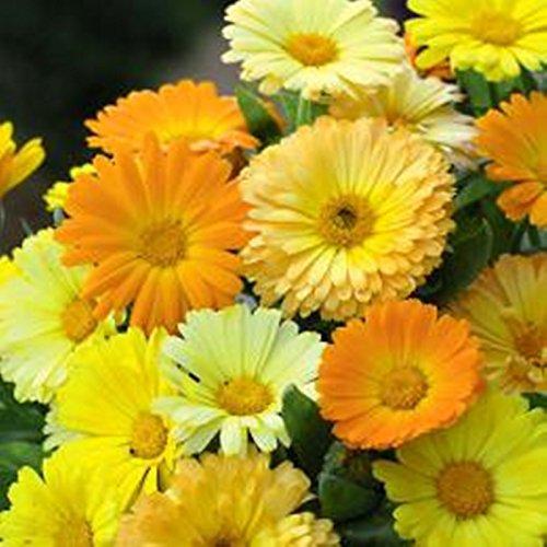 Marigold Pots (Seeds Pot Marigold Dwarf Fiyesta (Calendula officinalis) Organic Flower)