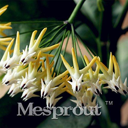 100pcs Rocket Hoya Seeds,orchid seeds,Rare Heirloom Tectorum Perennial Flower Seeds DIY Home Bonsai plants