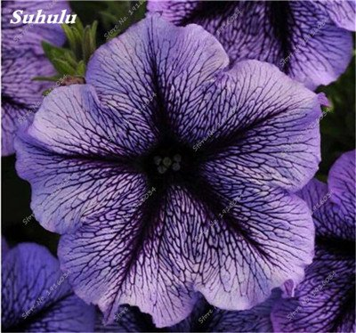 Amazon com : 100 Pcs Hanging Petunia Seeds Blue Morning