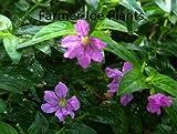 "CUPHEA - MEXICAN HEATHER - LAVENDER - 2 PLANTS - 3"" POTS"