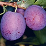 Tree Seeds Online - Plum, Pear, Peach, Cherry And Wild Cherry. Collection - 1 Packs