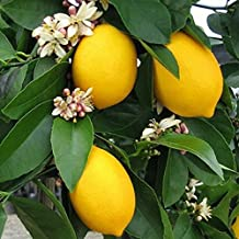 Rare Natural Sweet Yellow Lemon Tree Indoor Outdoor Seeds Fruits Vegetables Plant Seed Garden - 5 pcs/lot